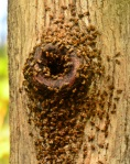 Bees in Tree Trunk