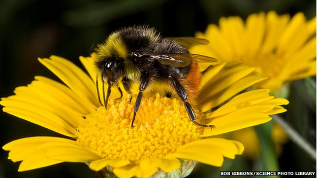 _81363412_c0218067-red-tailed_bumblebee_feeding_on_a_flower-spl