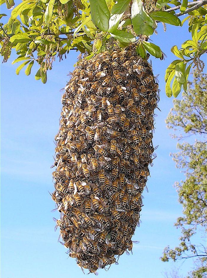 800px-Bee_Swarm