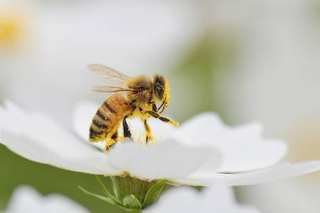33032422-honey-bee-collecting-pollen-from-white-cosmos-flower-