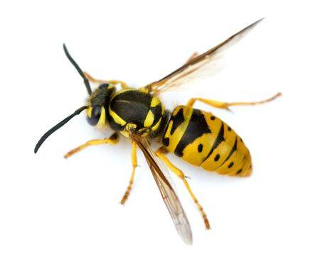 6116639-macro-shot-of-european-wasp-vespula-germanica-isolated-on-white-